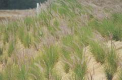 Pennisetum setaceum - White Fountain Grass