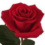 Six Foot Roses