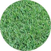 St. Augustine Turfgrass