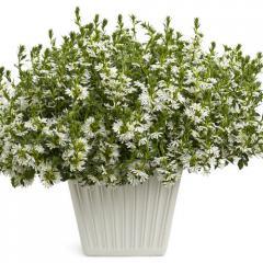 Whirlwind® White Fan Flower