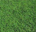 Santa Ana Turfgrass