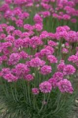 Armeria maritima Bloodstone Native Plants