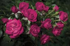 Rosa Be My Baby - Miniature Rose