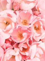 Rosa Blushing Knock Out® - Shrub Rose