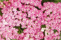 Achillea millefolium Saucy Seduction Yarrow