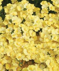 Nemesia hybrid Sunsatia® Lemon Nemesia Flowers