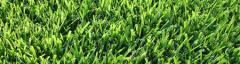 Cavalier Zoysia Turfgrass