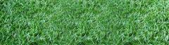 Centipede Common Turfgrass