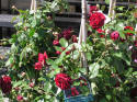 Climbing Espalier Roses