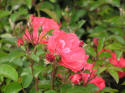Coral Drift roses