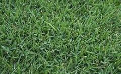 Meyer Zoysia Turfgrass
