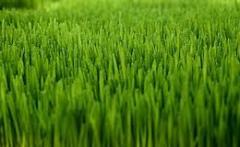 Sea Isle Supreme Turfgrass