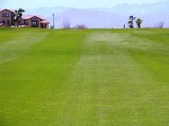 SeaDwarf® Turfgrass