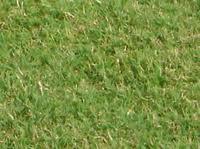TifEagle Turfgrass