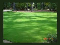 TifGrand™ Turfgrass