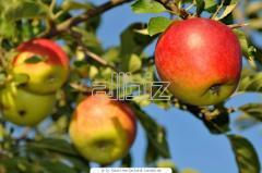 Summer apple
