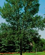 Patmore Green Ash