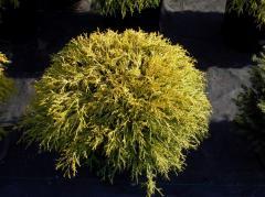 Gold Thread Cypress