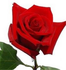 Charlotte Roses