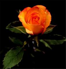 Konfetti Roses