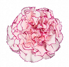 Amico Carnations