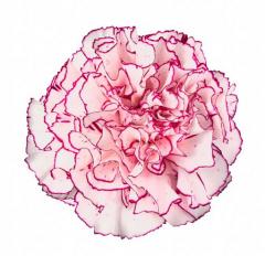 Amico Carnations