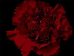 Toldo Carnations