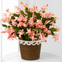Fall Fancy Blooming Zygo Cactus