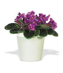 Purple African Violet Plant
