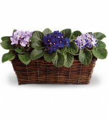 Sweet Violet Trio Plant