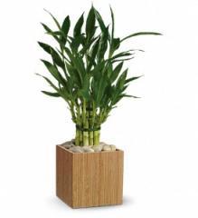 Teleflora's Good Luck Bamboo Plant