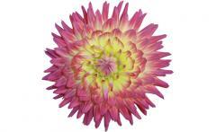 Dahlias Bulb Flowers