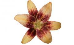 Lilies Tango
