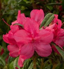 Autumn Jewel™ / Azalea x 'Robleu' PPIP
