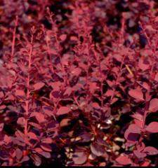 Barberry Crimson Pygmy / Berberis thunbergii