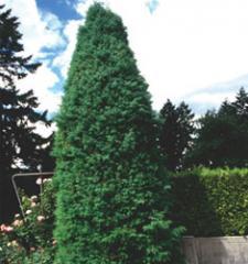 Japanese Cedar / Cryptomeria japonica