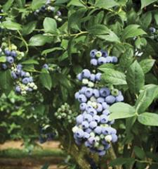 Blueberry Tifblue / Vaccinium ashei Tifblue