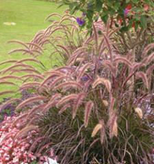 Fountain Grass Purple / Pennisetum setaceum Rubrum
