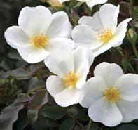 Single white flowers