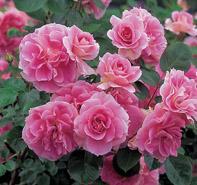 Carefree Wonder roses