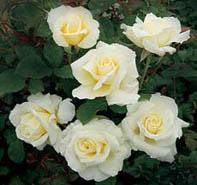 White Licorice roses