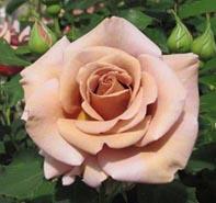 Creamy milk chocolate roses