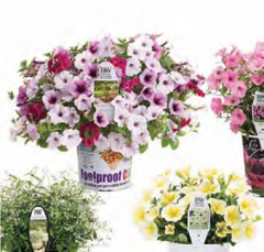 Foolproof ColorTM, Supertunia®, King Tut® ,Diamond