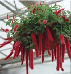 Acalypha - Chenille Plant
