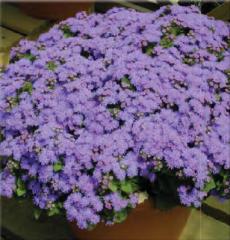 Ageratum - Blanket Flower