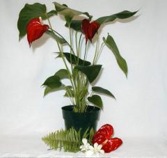 Blooming Anthurium Plant