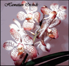 Blooming Orchid Plant