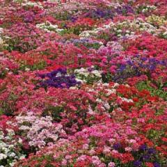 Verbena 'Ideal Florist Mix'