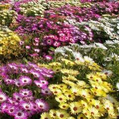 Annual Iceplant (Livingstone Daisy)