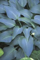Hostas Plants